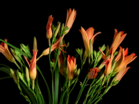 vidéos et rushes de day lily flowers opening and closing - lis