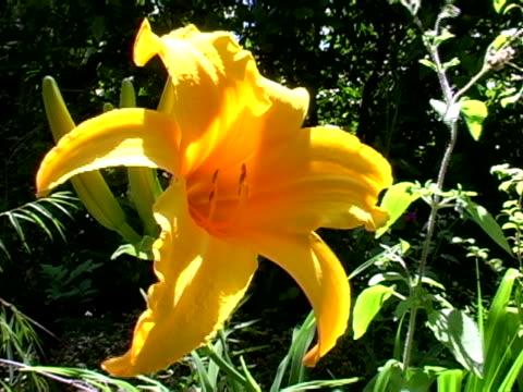 day lily - ワスレナグサ点の映像素材/bロール