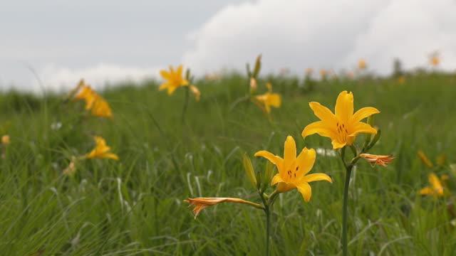 daylilies (hemerocallis esculenta) - yamagata prefecture stock videos & royalty-free footage