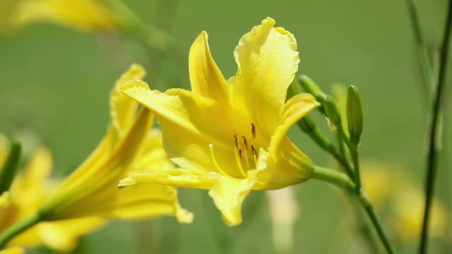 cu daylily flower shaking by wind / hilo, big island,hawaii, united states - ワスレナグサ点の映像素材/bロール