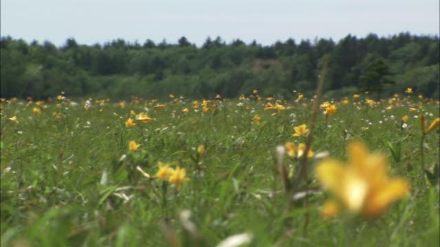 daylily (hemerocallis dumortieri) on sarobetsu plain in hokkaido - ワスレナグサ点の映像素材/bロール