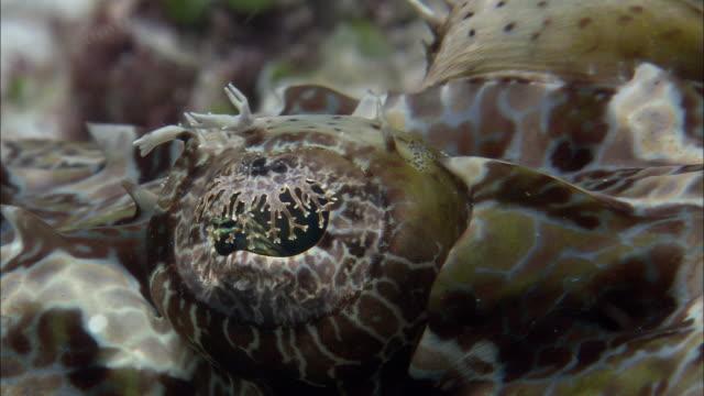 vídeos de stock, filmes e b-roll de de beaufort's crocodilefish (cymbacephalus beauforti) on reef, west papua, indonesia - camuflagem