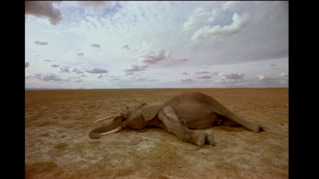 a dead african elephant lies on the barren savanna. - dead animal stock videos & royalty-free footage