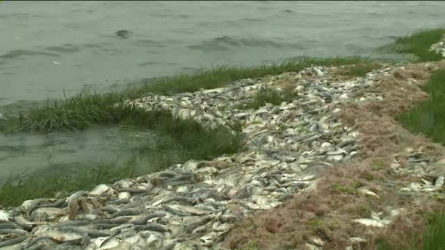 Dead and dying bunker fish washed ashore in the Peconic Estuary