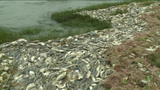 dead and dying bunker fish washed ashore in the peconic estuary - tsukubai stock videos and b-roll footage