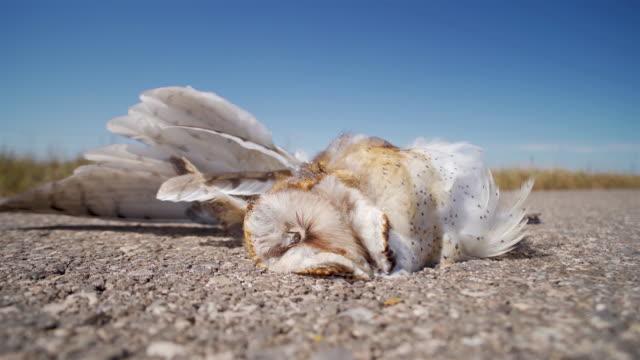 dead barn owl on a highway side - dead animal stock videos & royalty-free footage