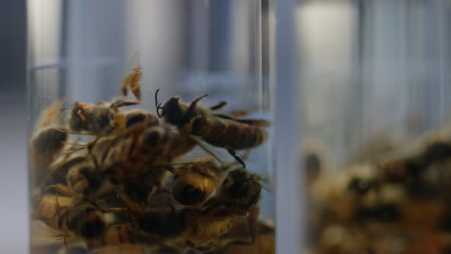 Dead Bees Being Drop in a Jar Full of Water