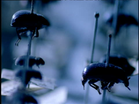 dead beetles pinned down in entomological exhibit - display cabinet stock videos & royalty-free footage