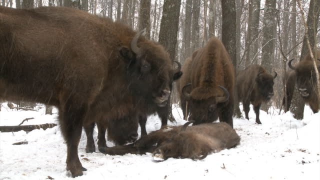 dead bison cub and herd - mourner stock videos & royalty-free footage