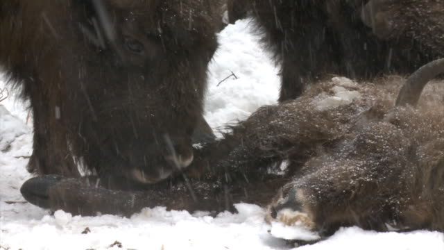 dead bison cub and herd - mourning stock videos & royalty-free footage