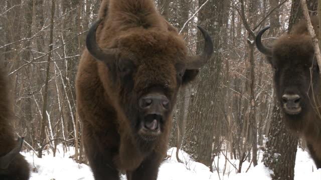 stockvideo's en b-roll-footage met dode bison cub en beslag - kernramp van tsjernobyl