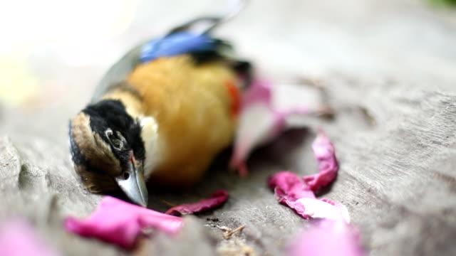 dead blue winged pitta bird in bird seasonal migration