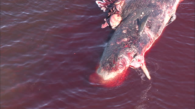 Dead carcass of stranded sperm whale (Physeter macrocephalus), Tasmania