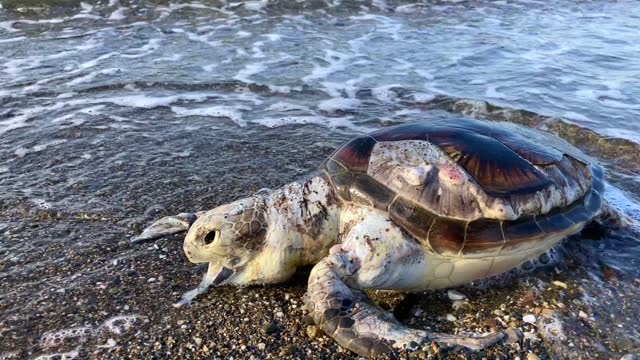 dead caretta caretta - caretta caretta stock videos & royalty-free footage