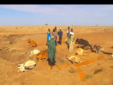 Dead cattle lay by roadside dying during drought Kenya 20 September 2009