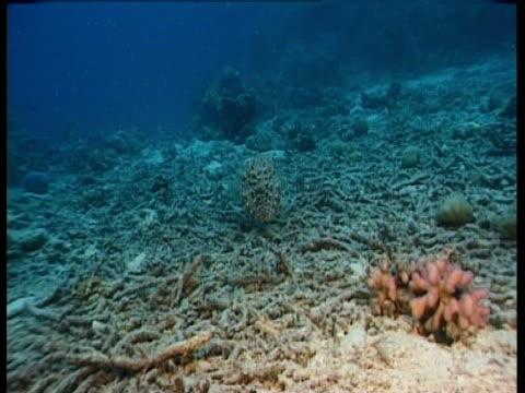 vidéos et rushes de dead coral on the sea floor. - corail cnidaire