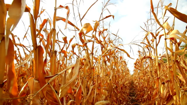 stockvideo's en b-roll-footage met dead corn field moving row hd - droog