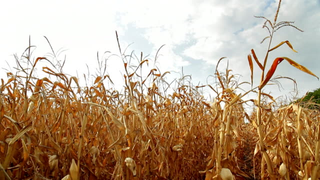 dead corn field pan hd - drought stock videos & royalty-free footage