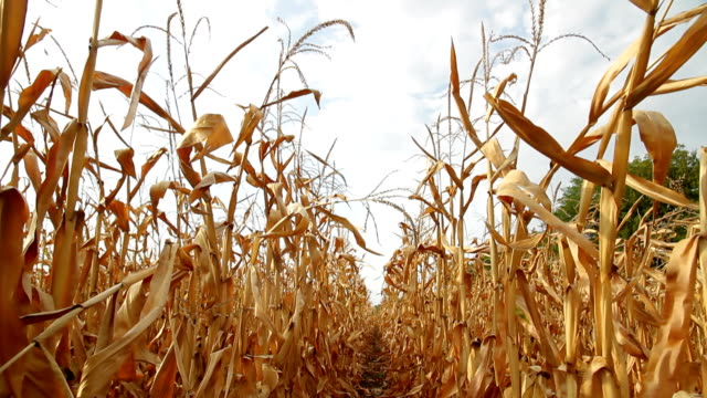 dead corn field row hd - drought stock videos and b-roll footage