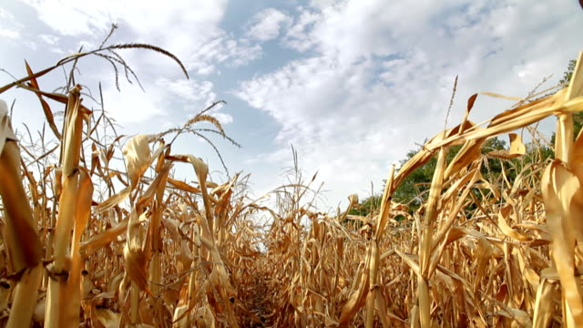 stockvideo's en b-roll-footage met dead corn field zoom hd - droog