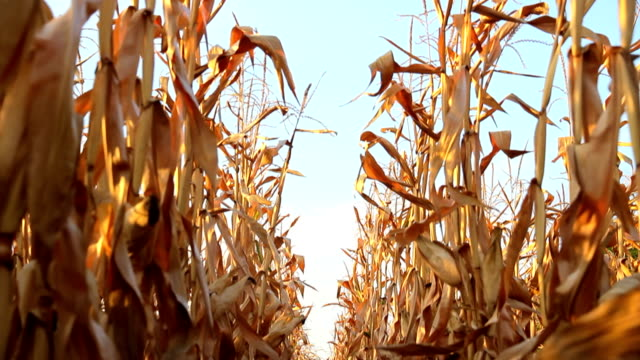 stockvideo's en b-roll-footage met dead corn field zoom row hd - droog