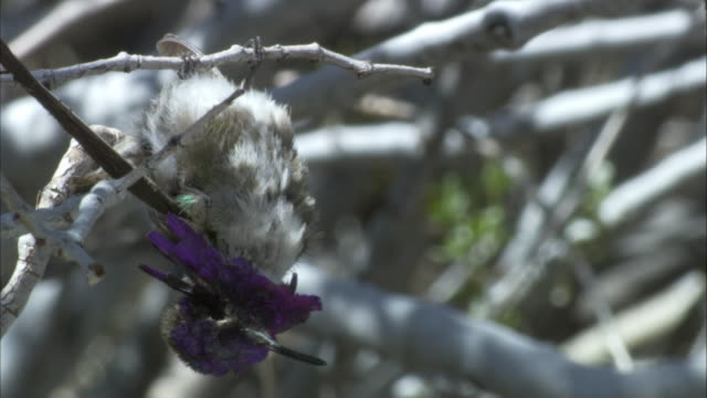 dead costa hummingbird - upside down stock videos and b-roll footage
