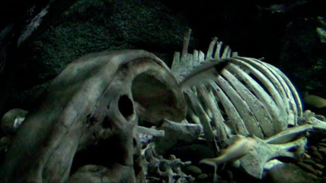 dead cow - animal skeleton stock videos & royalty-free footage