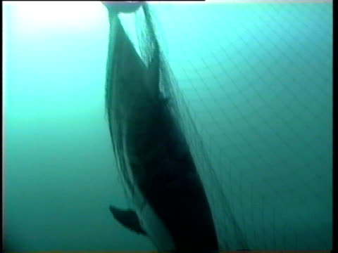 dead dolphin tangled in driftnet. - fishing net stock videos & royalty-free footage