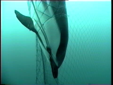 Dead dolphin tangled in driftnet.