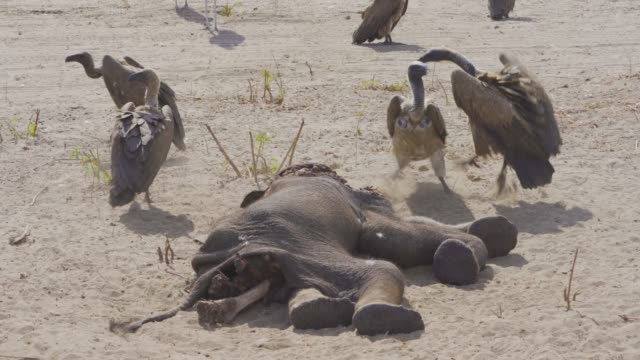 a dead elephant is eaten by an white-backed vulture (gyps africanus) - elephant stock videos & royalty-free footage