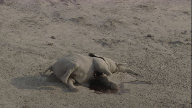 dead elephant on dusty plain, botswana available in hd. - dead animal stock videos & royalty-free footage
