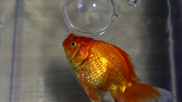 dead fantail goldfish in an aquarium, 4k. - diseased plant stock videos and b-roll footage