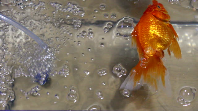 dead fantail goldfish in an aquarium, 4k. - goldfish stock videos & royalty-free footage