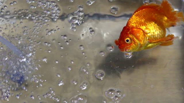 stockvideo's en b-roll-footage met dode fantail goudvissen in een aquarium. - lichaamsdeel van dieren