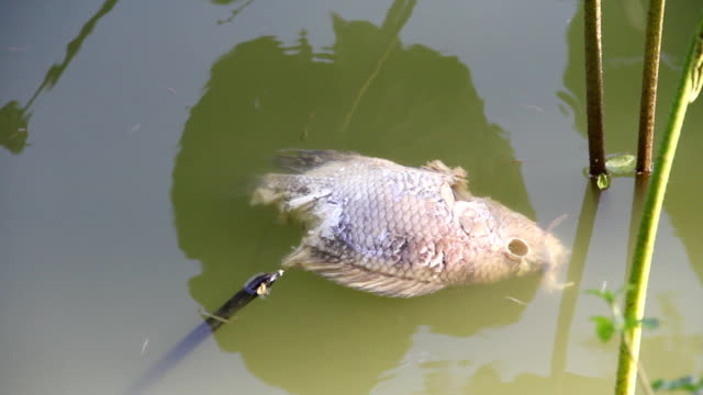 Dead fish floating in water.