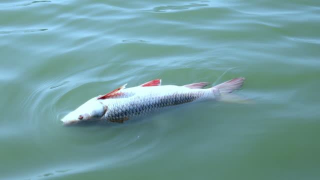 vidéos et rushes de poissons morts dans l'eau - mort concepts