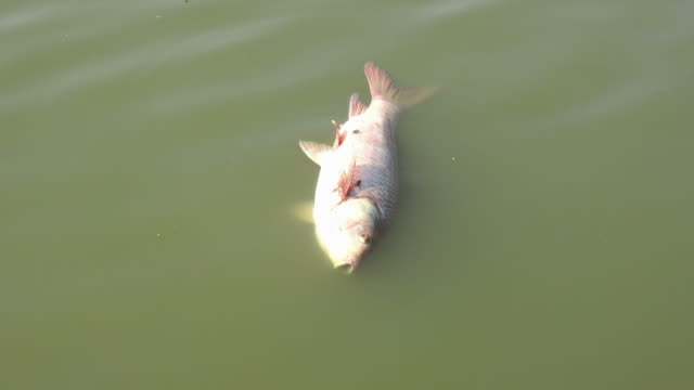 死んだ魚の水 - 死んでいる動物点の映像素材/bロール