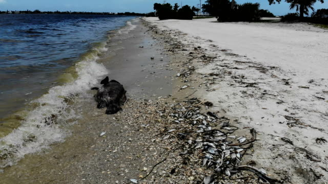 dead fish line the shoreline along the sanibel causeway after dying in a red tide on august 1 2018 in sanibel florida red tide season usually lasts... - tide stock videos & royalty-free footage