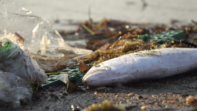 vidéos et rushes de les poissons morts se lavent sur le rivage en raison de la pollution de la mer - aliments et boissons