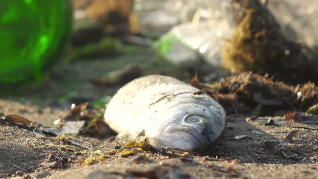 dead fish washed up on the shore-close up - dead animal stock videos & royalty-free footage