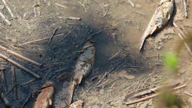 リブレガット川の死んだ魚 - 2019年7月に有毒流出 - 有害廃棄物点の映像素材/bロール