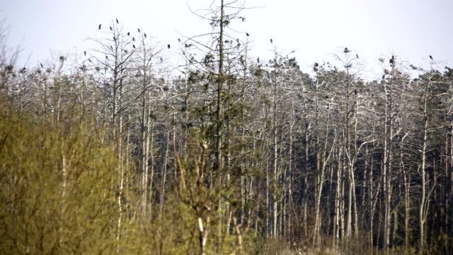 dead forest in the cormorant colony - dead plant stock videos & royalty-free footage