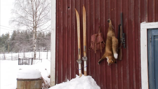 A dead fox hanging on a house wall Sweden.