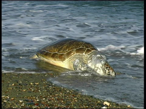 dead green turtle (chelonia mydas), cyprus (with audio) - green turtle stock videos and b-roll footage