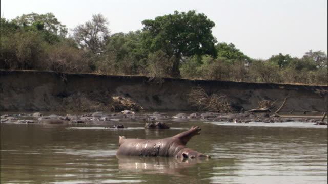 Dead hippo (Hippopotamus amphibius) floats in river, Luangwa, Zambia