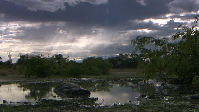dead hippo in the waterhole of okavango delta wetland - waterhole stock videos & royalty-free footage