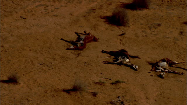 aerial dead horses on dirt ground, anna creek, south australia, australia - dead animal stock videos & royalty-free footage