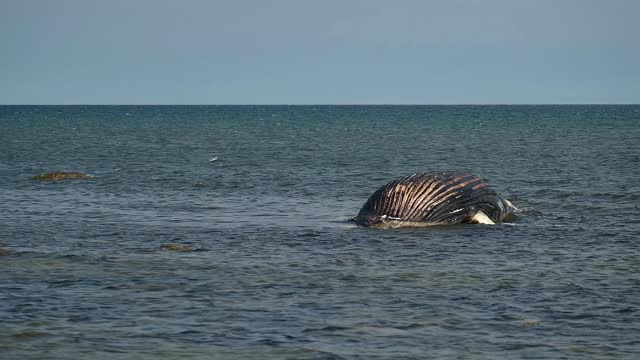 a dead humpback whale lying on a beach on southern öland in sweden on a spring day - 浜辺に打ち上げられた点の映像素材/bロール