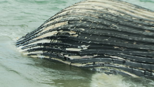 A dead humpback whale washes onto a beach.