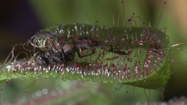 A dead insect remains trapped by a tentacle of a sundew fly trap plant. Available in HD